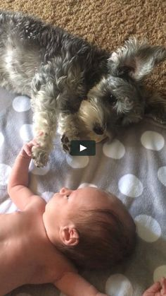 Animals Discover Adventures of Lillie My 10 day old grand daughter & 11 month old mini schnauzer interacting for the first time. So sweet! I love how gentle Lillie is with the baby. Schnauzer Grooming, Miniature Schnauzer Puppies, Schnauzer Dogs, Black Schnauzer, Standard Schnauzer, Animals And Pets, Baby Animals, Funny Animals, Cute Animals