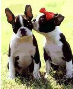 Boston Terriers chelseawilkins  Boston Terriers  Boston Terriers.... OMG IT'S SO CUTE!!!!