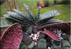 Suculentas en venta: Aloes Gasterias