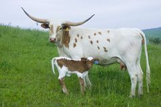Texas Longhorn Cattle | Click here for High Res of this photo: High_Res_U_1997