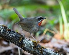 """Siberian Rubythroat wintering in Thailand by Nick A. (Tropical Birding Tours"""""""
