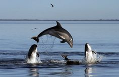 Melbourne's Port Phillip Bay, Victoria, Australia - Species, Tursiops Australis, which can also be found at Gippsland Lake, have a small populationand were originally thought to be one of the two existing bottlenose dolphin species