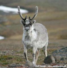 Bild © Rolf Stange Beschreibung: Das Spitzbergen-Rentier (oder Svalbard-Rentier) ist die einzige Rentierart, die in Svalbard vorkommt. Es handelt sich um eine etwas kleinere Unterart der Art »Rentier«. Wer die Rentiere des skandinavischen Festlandes kennt, wird überrascht sein, wie groß … Weiterlesen →