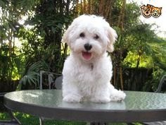 Regretfully we are having to rehome our havanese puppy