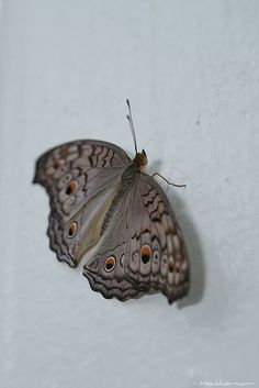 Grey Pansy butterfly (Junonia atlites)