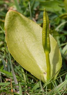 "June 28: ""The well-named adder's-tongue fern."" A Summer of British Wildlife; www.bradtguides.com #100dayswild"