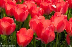 Rode tulpen in tegenlicht