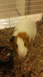 Joey is an adoptable Guinea Pig Guinea Pig in Woodbridge, NJ.  ...