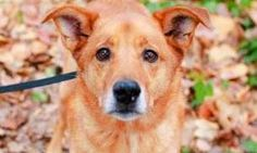 Meet Chester, an 8-year-old Labrador/Shepherd mix, who would love to be your hiking buddy. This happy-go-lucky guy loves to play and will happily lead you anywhere you want to go. His tail and kisses are non-stop, and would do well with an energetic owner who can let his personality really shine. Chester was ADOPTED! from Seattle Humane, January 2017