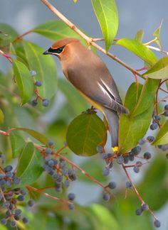 More Cedar Waxwings! and Jason Stemple.