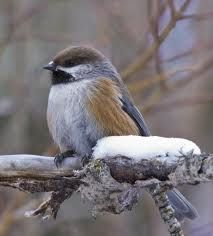 BOREAL CHICKADEE - Parus hudsonicus . . . Canada, Alaska and northern edges of lower forty-eight United States.