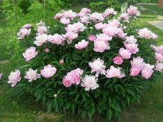 Пион на миллион. 5 секретов пышного цветения кустов