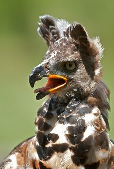 Crowned Eagle  (photo by tb-za) I have never seen one of these before, Wow, a bit scary looking, this guy could rip you to shreds!