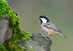https://flic.kr/p/zxJhrg   Coal Tit Parus Ater   I would like to thank everyone who take the time to view and comment on my photographs it is greatly appreciated and encouraging
