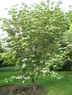 White Kousa Dogwood Trees For Sale Small Trees For Garden, Trees For Front Yard, Garden Trees, Small Patio, Trees And Shrubs, Flowering Trees, Trees To Plant, Different Plants, Types Of Plants