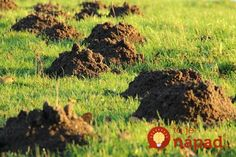 """Tulsa Pest Control Tips from Oklahoma Landscape Say Good-bye to Lawn Pests – Tips from Oklahoma Landscape """" Is your Tulsa lawn having to contend with pest problems? Whether its moles, grubs, ants, or. Mole Repellent, Taupe, Old Farmers Almanac, Pergola Pictures, Garden Guide, Carnivorous Plants, Garden Pests, Garden Care, Pergola Designs"""