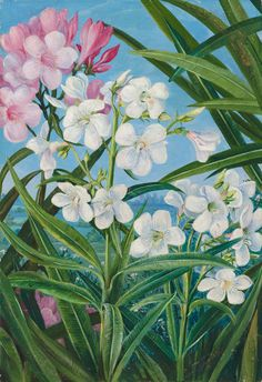 341. The Oleander. Prints by Marianne North | Magnolia Box