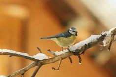 Păsări ușor de văzut iarna | Fauna cum ... Maui, Birds, Places, Animals, Animales, Animaux, Bird, Animal, Animais