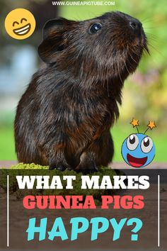 Are guinea pigs happy animals and what makes guinea pigs happy? How do happy guinea pigs look like? We have prepared for you a useful list of things that make guinea pigs happy. Find out what these things are and make your guinea pig happy. Guinea Pig Food List, Pet Guinea Pigs, Guinea Pig Care, Pet Pigs, Guinie Pig, Guinea Pig Accessories, Class Pet, Guinea Pig Bedding, Happy Animals