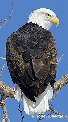 bald eagle … Plus