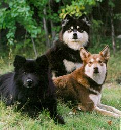 Swedish Lapphund: Rare breed. Not akc recognized. Contact: Patricia Arfsten, parfsten@yahoo.com
