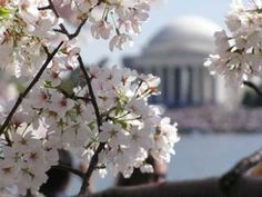 cherry blossoms in Washington by maryann