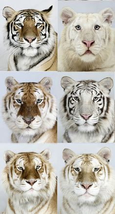 tiger portraits