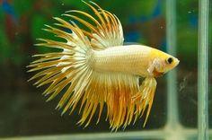 Yellow Crowntail Betta Fish