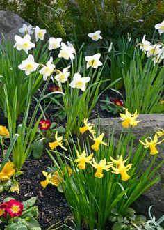 Image result for residential daffodil gardens