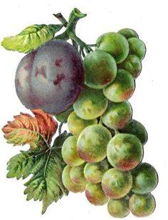Die Cut, Vintage Fall, My Drawings, Vines, Decoupage, Victorian, Watercolor, Fruit, Painting