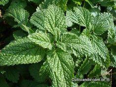 Erva-cidreira | Plantas Medicinais - Cultivando.com.br