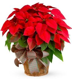 No Christmassy home is complete without a red poinsettia.