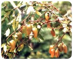 Griffonia Simplicifolia 5 HTP is a natural appetite suppressant that has seratonin in it. It works by transporting messagers to the brai. Fibromyalgia Treatment, L Tyrosine, Natural Appetite Suppressant, 5 Htp, Natural Sleep Aids, Planting Shrubs, Human Body Parts, Chronic Illness, Chronic Pain
