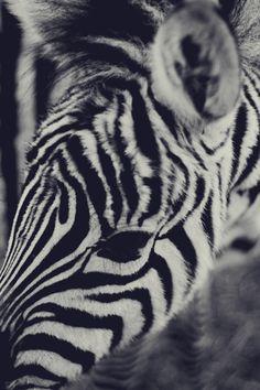 zebra, by Lizzy Pinckney
