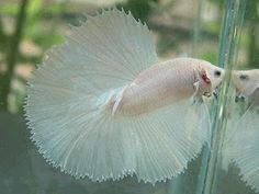 Ikan Cupang Halfmoon, White Halfmoon.