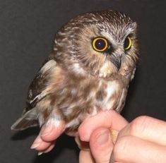 Northern Saw-whet Owl. This is an adult owl. They weigh about 3 ounces. Baby Owls, Baby Animals, Cute Animals, Owl Photos, Owl Pictures, Beautiful Owl, Animals Beautiful, Ohio Birds, Saw Whet Owl