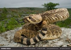 A western diamondback rattlesnake (Crotalus atrox) in the foothills of the Wichita Mountains in Oklahoma. Anaconda, Lion Africa, Wichita Mountains, Pit Viper, Snake Venom, Beautiful Snakes, Mundo Animal, Reptiles And Amphibians, Animal Faces