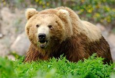 Oligarch is a big and robust bear. He doesn't fear anyone and has long privatized all the best meadows and pastures of the Valley of Geysers.