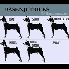 Basenji's obedience in action!