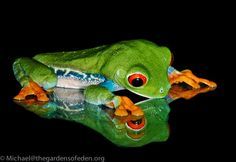Red Eye Green Tree Frog (Agalychnis callidryas) - photo by Michael Kern, via 500px