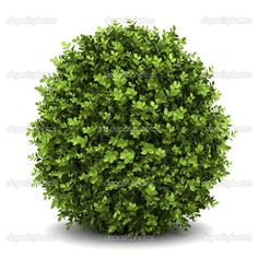 Dwarf English Boxwood - Grows about 3 feet in height. Can withstand heavy pruning.