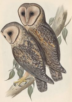 Masked Owl - Tyto novaehollandiae,Artwork: John Gould, 'The Birds of Australia', 1848.