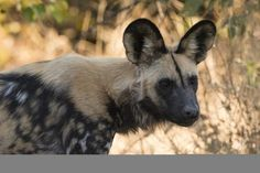 size: Photographic Print: Portrait of an endangered African wild dog (Lycaon pictus), Botswana, Africa by Sergio Pitamitz : African Wild Dog, African Image, African Art, Wild Dogs, African Culture, Safari Animals, Endangered Species, Colour Images, Animal Photography