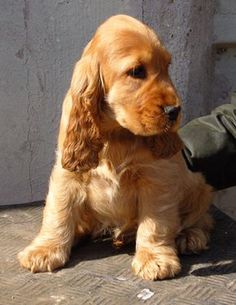 Golden English Cocker Spaniel Puppy - Francini's Rodolfo Valentino