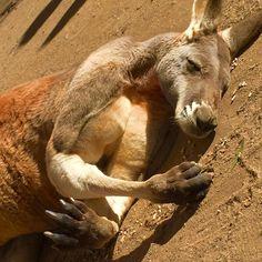 Don't worry...he's alive. Just sleeping. And he's #jacked. #kangaroo #animal #photooftheday #picoftheday #instagram #instagood #instapic #nature #currumbin #currumbinwildlifesanctuary #australia #aussie #goldcoast #travel #wanderlust #instatravel #travelgram #ig #igers #latergram #instalike #instadaily #animallovers #animalsofinstagram #muscular #muscles by jdubbs79 http://ift.tt/1X9mXhV