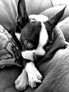 Wistful Boston Terrier