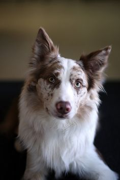 Red Merle and White Border Collie