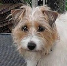 Sandy is an adoptable Jack Russell Terrier Dog in Elk Grove Village, IL. Phone: 847-212-5450 Email: dogs@almosthomefoundation.org Est. DOB: 10/29/06 Hi! My name is Sandy. I am a spirited and playfu...
