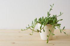 茎が伸び見た目が悪くなったアーモンドネックレスの調節 | ウチデグリーン | UCHI de GREEN Planter Pots, Succulents, Vase, Green, Home Decor, Succulent Plants, Interior Design, Vases, Home Interior Design