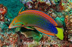 Yellowtail Coris Wrasse Fish Information: Adult Female Yellowtail Coris Wrasse